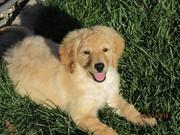 Golden Doodle Female Puppy