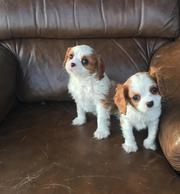 Cavalier King Charles Spaniel pure breed puppies Male and female for