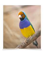 Lady Gouldian Green Back Normal for sale